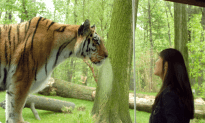 Man Jumps in The Tiger Cage at the Bronx Zoo, Promptly Gets Mauled