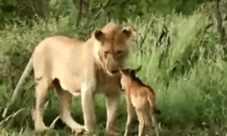 People Try and Record a Lion Kill by Letting a Calf Out, But the Lion Shows Mercy