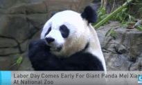 Labor Day Comes Early For A Giant Panda