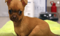 Puppy Born Without Front Legs Gets New Ones
