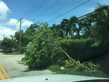 Tree uprooted by irma