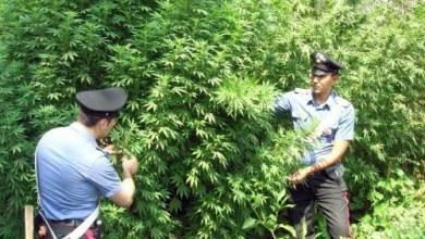 Photo of Napoli – Carabinieri sui Monti Lattari per estirpare piantagioni di cannabis