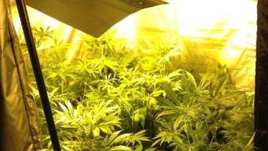 Photo of Aversa – Coltivava marijuana, arrestato 32enne