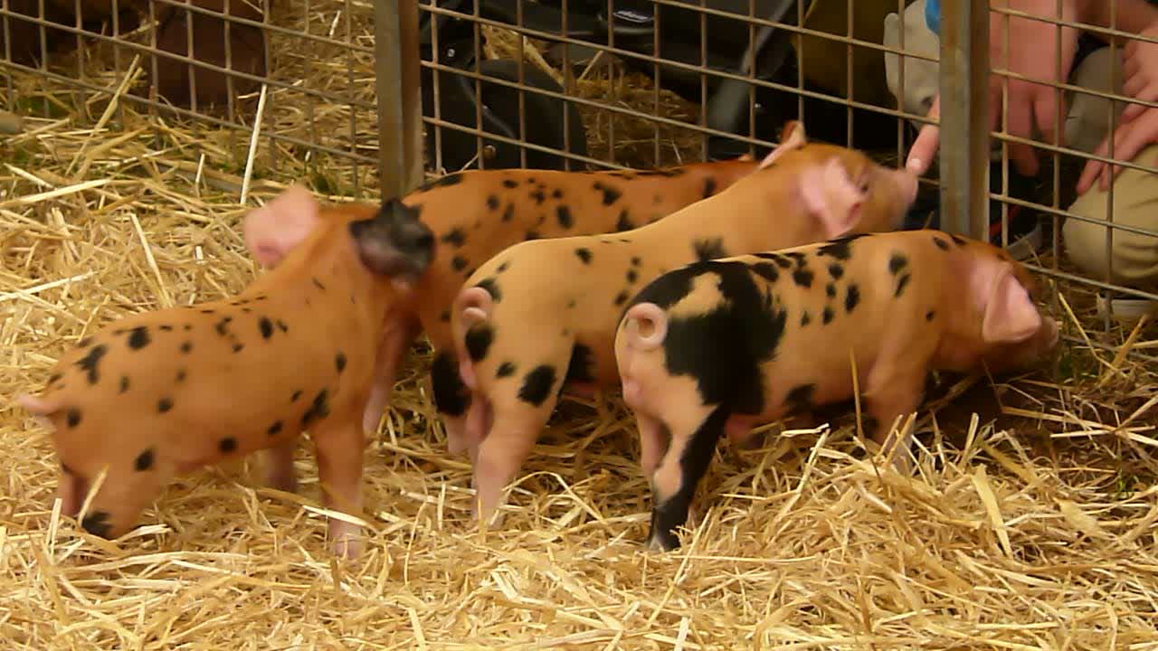 Oxford Sandy & Black Piglets