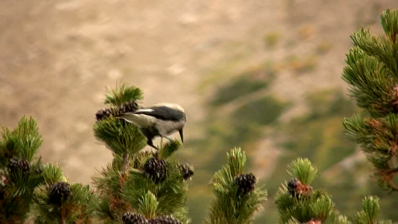 Clark's Nutcracker Video by Karen Rentz