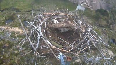 Blue 2H on Nest 2 – almost