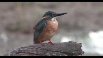 Martín pescador común