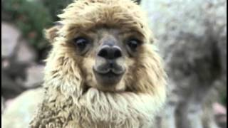 Bolivia: The Alpaca Connection