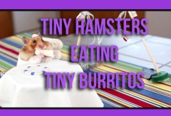 Featured Vid #122 – Tiny Hamsters Eating Tiny Burritos