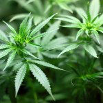 Labeling - An Important Step in the Marijuana Legalization Process, VidLyf.com