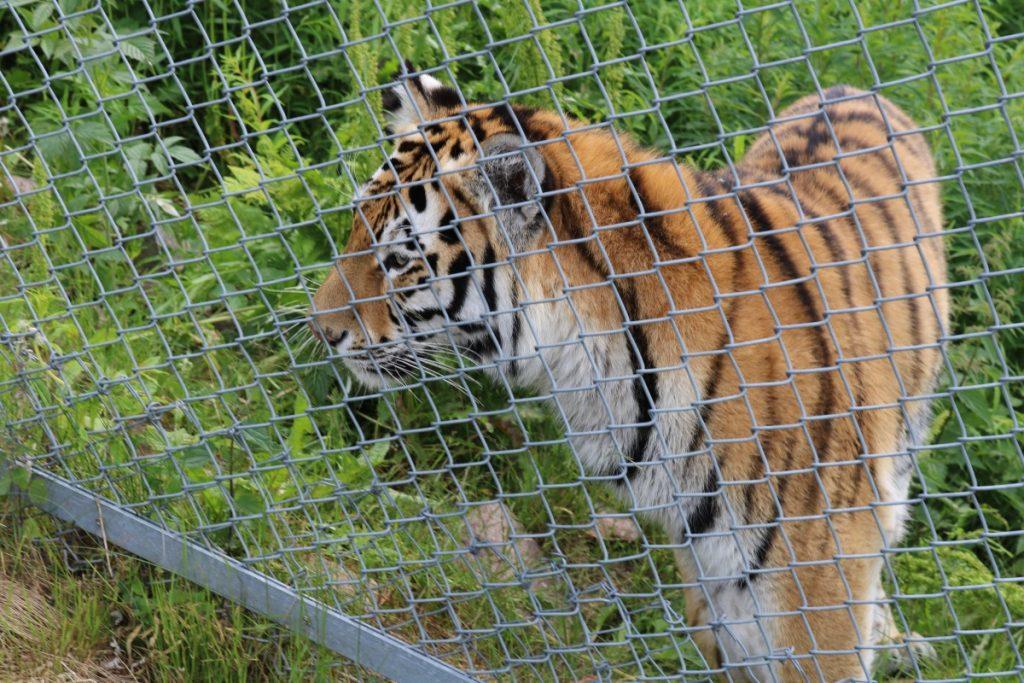 Tigeren så på minsten, minsten så på tigeren! Gjerdet er en flott oppfinnelse!