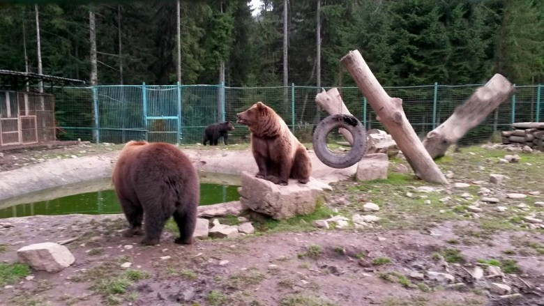 Bears have simulators, toys, lakes for swimming, in which they throw fish so that bears could remember their instincts.