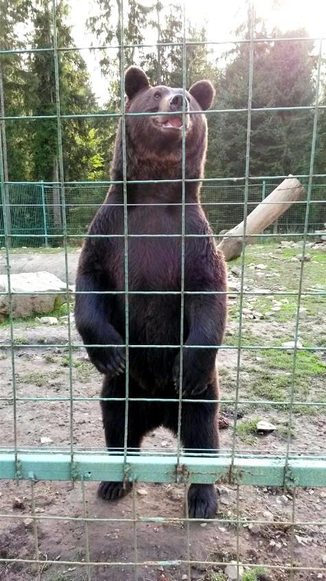 Некоторым навыкам медведей научили в неволе и сейчас они это делают не по принуждению, а по привычке