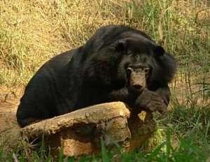 Zoo Zen bear