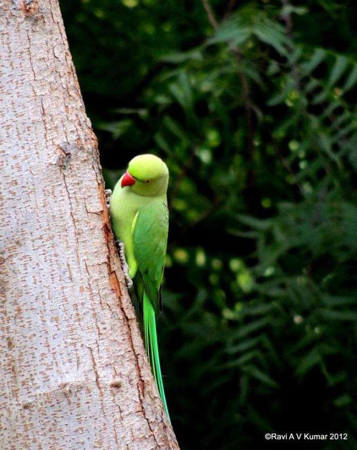 parrot ravi feeding my soul