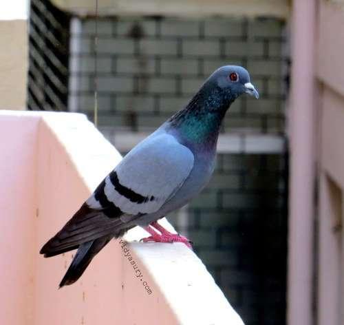 vidya sury pigeons happiness (1)