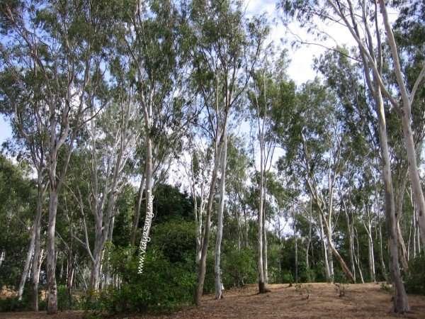 Vidya+Sury+Eucalyptus+trees