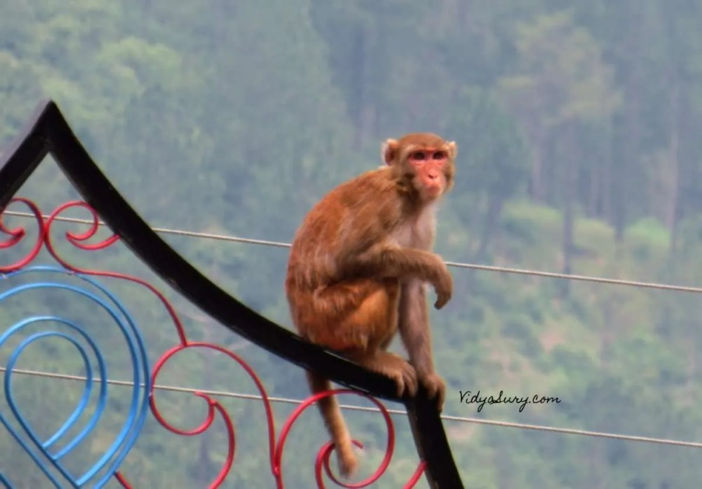 Monkey Business Dolanji Bon Monastery