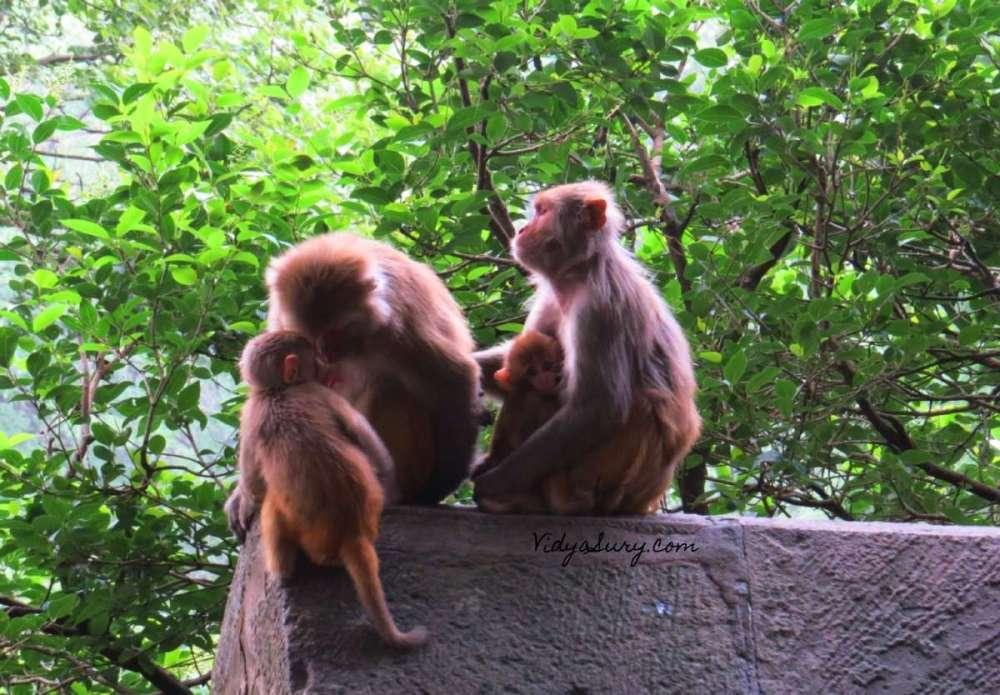 Monkey Business Kasauli