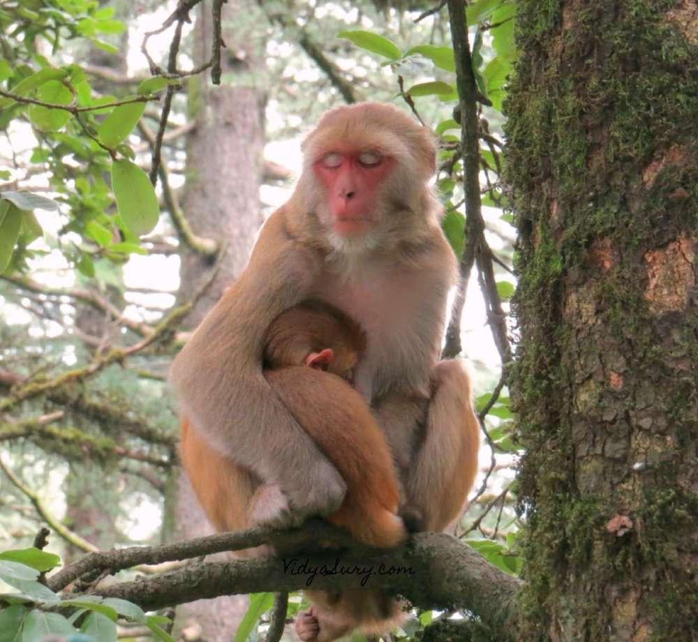 Monkey Business Kufri 2