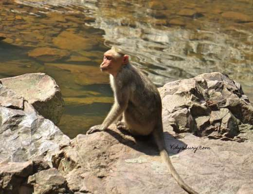 Monkey Business Talakona Falls Tirupati
