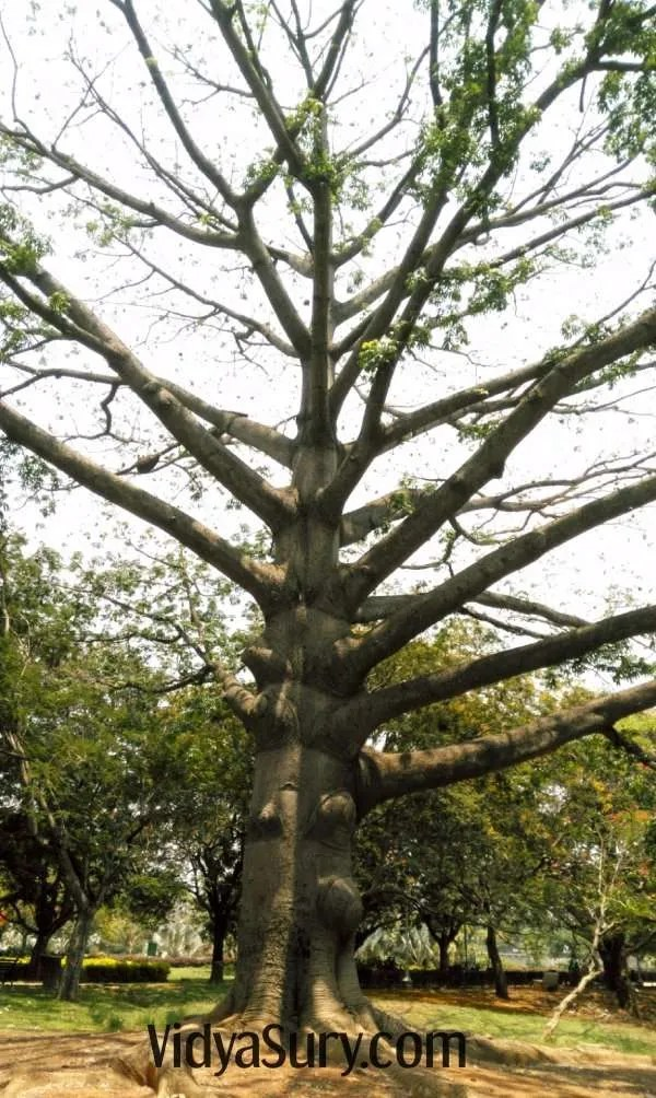 White silk cotton tree at Lalbagh Botanical Gardens, Bangalore #travel #nature #trees