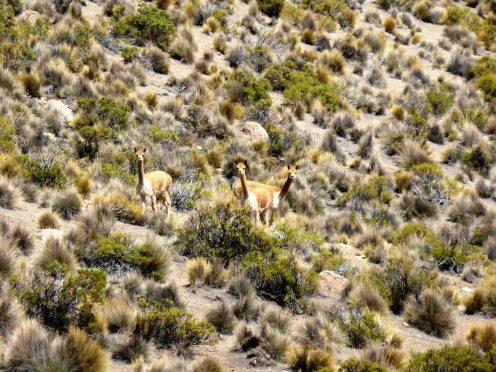Parc National de Sajama-Bolivie (13)