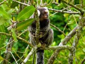 Singe Paraty-Brésil
