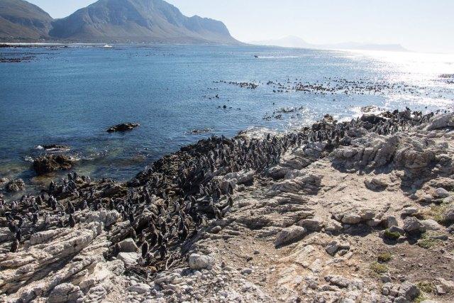 pinguine-bettys-bay