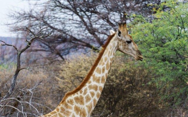 Die Giraffe flüchtet als wir sie entdecken Waterberg Wilderness