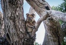 Südküste Australien Port Lincoln Koala