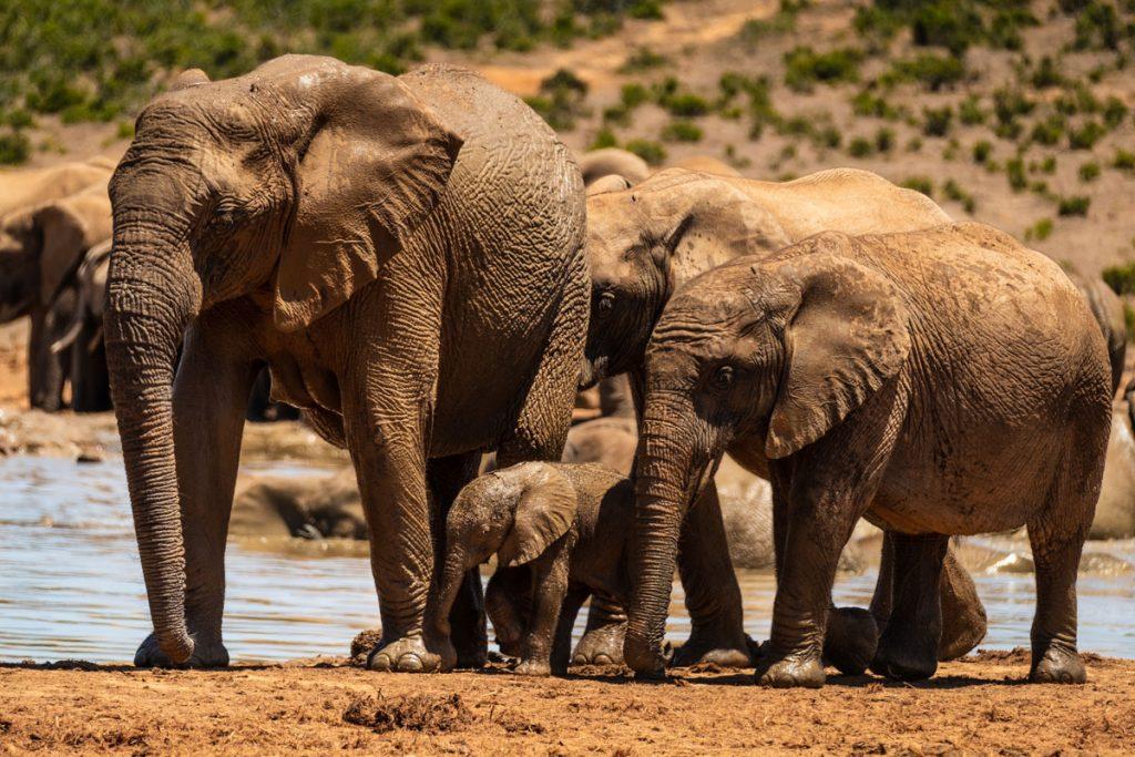 """elefantenbaby-addo-elephant-park """"class ="""" wp-image-36690 """"srcset ="""" https://viel-unterwegs.de/wp-content/uploads/2019/02/elefantenbaby-addo-elephant-park-1024x683. jpg 1024w, https://viel-unterwegs.de/wp-content/uploads/2019/02/elefantenbaby-addo-elephant-park-500x333.jpg 500w, https://viel-unterwegs.de/wp-content/ uploads / 2019/02 / elefantenbaby-addo-elephant-park-768x512.jpg 768w, https://viel-unterwegs.de/wp-content/uploads/2019/02/elefantenbaby-addo-elephant-park.jpg 1200w """" sizes = """"(max-width: 1024px) 100vw, 1024px"""" /></noscript data-recalc-dims="""