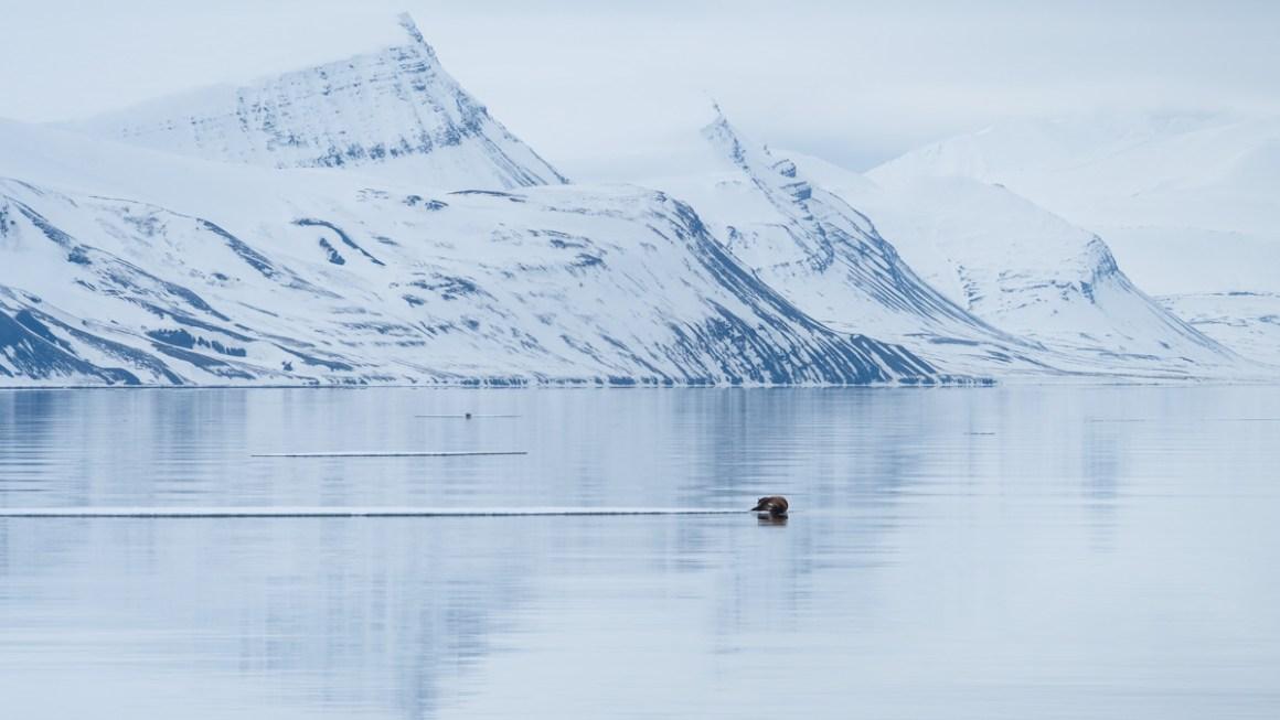 Walrus Svalbard