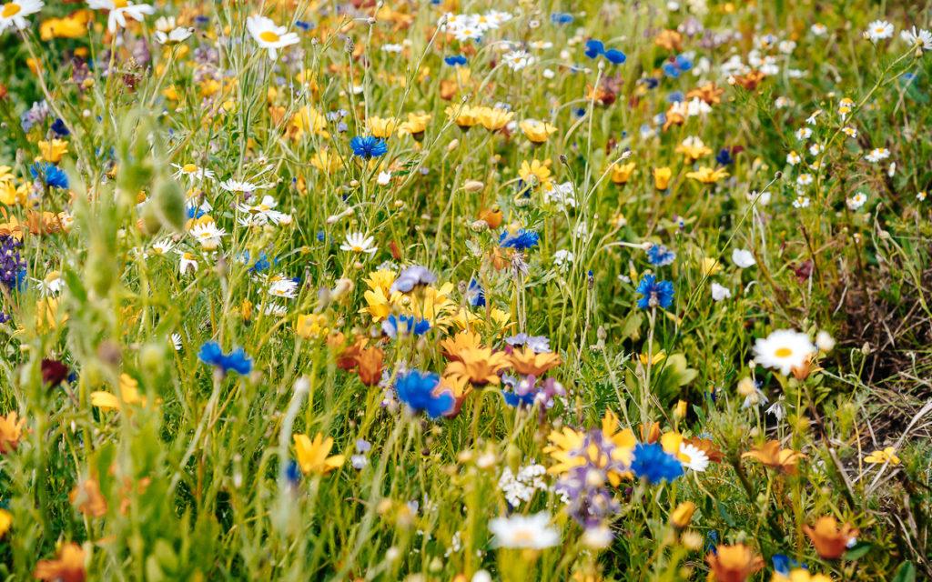 Bloemenvelden op het eiland Fehmarn