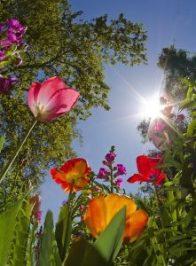 lalele in soare