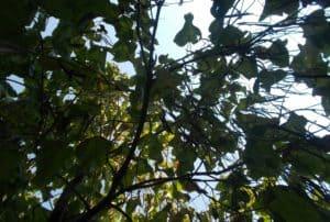 catalpa-copac