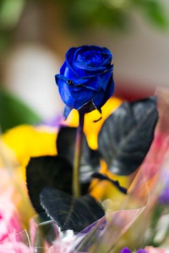 blue-rose-1920-vienhoang-com-dsc_7570