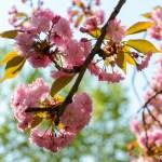 Vienna in spring: cherry blossom