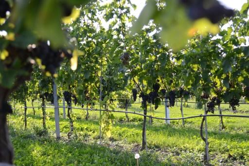 Weingut Esterhazy7