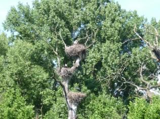 Marchegg storks