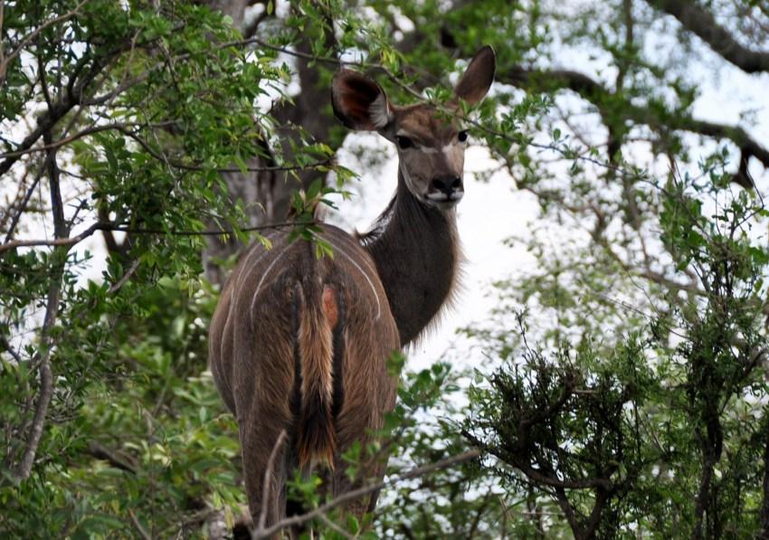 Animal du parc Kruger
