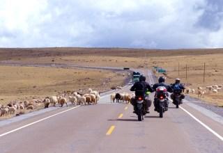 Troupeau de moutons devant des motards