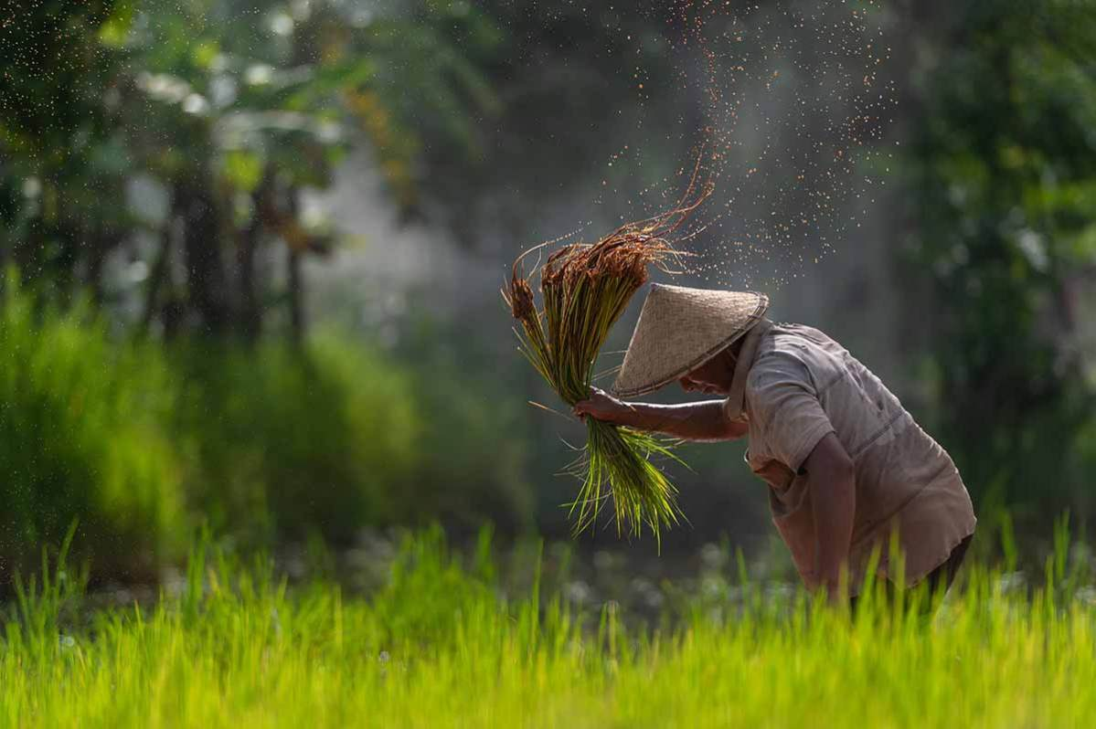 Asian farmer planting rice