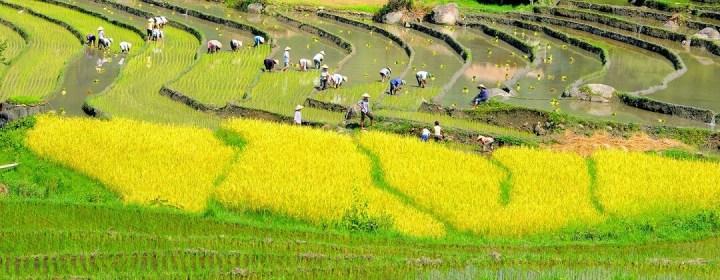Planten van rijst - Rijstterrassen Sapa, Vietnam