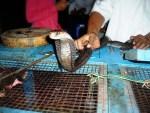 Змеиное шоу + ритуал поедания кобры