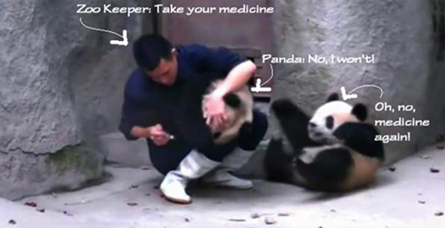 Cear feeding pandas medicine