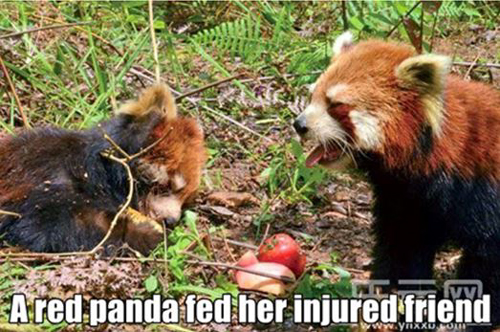 A red panda feeding her injured friend