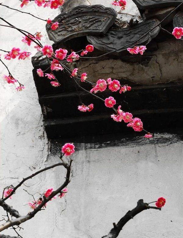 Winter Plum flowers