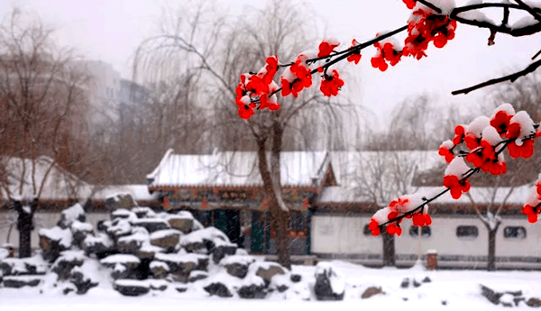 Red plums in snow in a Chinese garden.