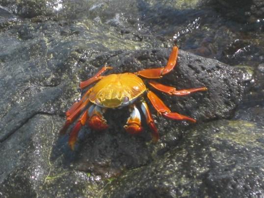 A Sally Lightfoot crab in Bachas Beach, Santa Cruz Island. Photo courtesy of Tonya Huff and Virginia White